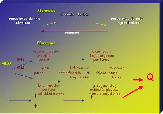 Termorregulación - Fisiología de la respuesta al frío